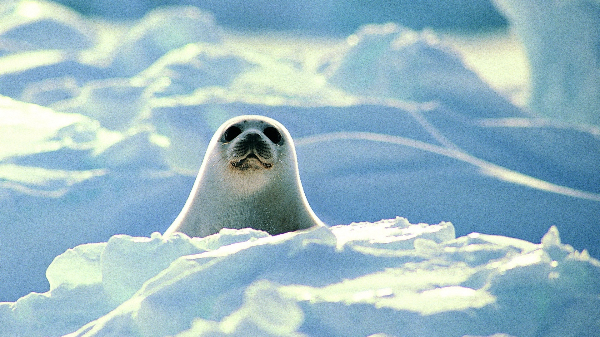 Sfondi bianchi sigillo, neve, freddo, gli animali, foto 1920x1080