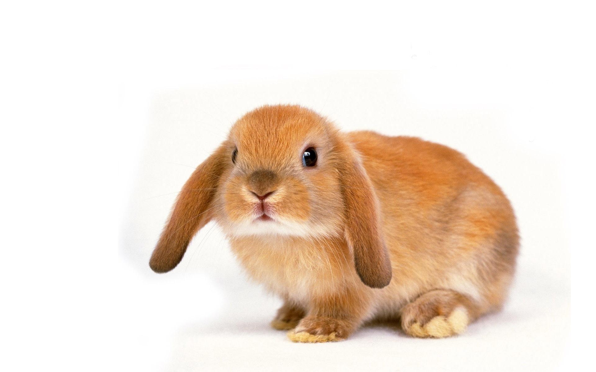 Кролик черные глазки рыжего цвета