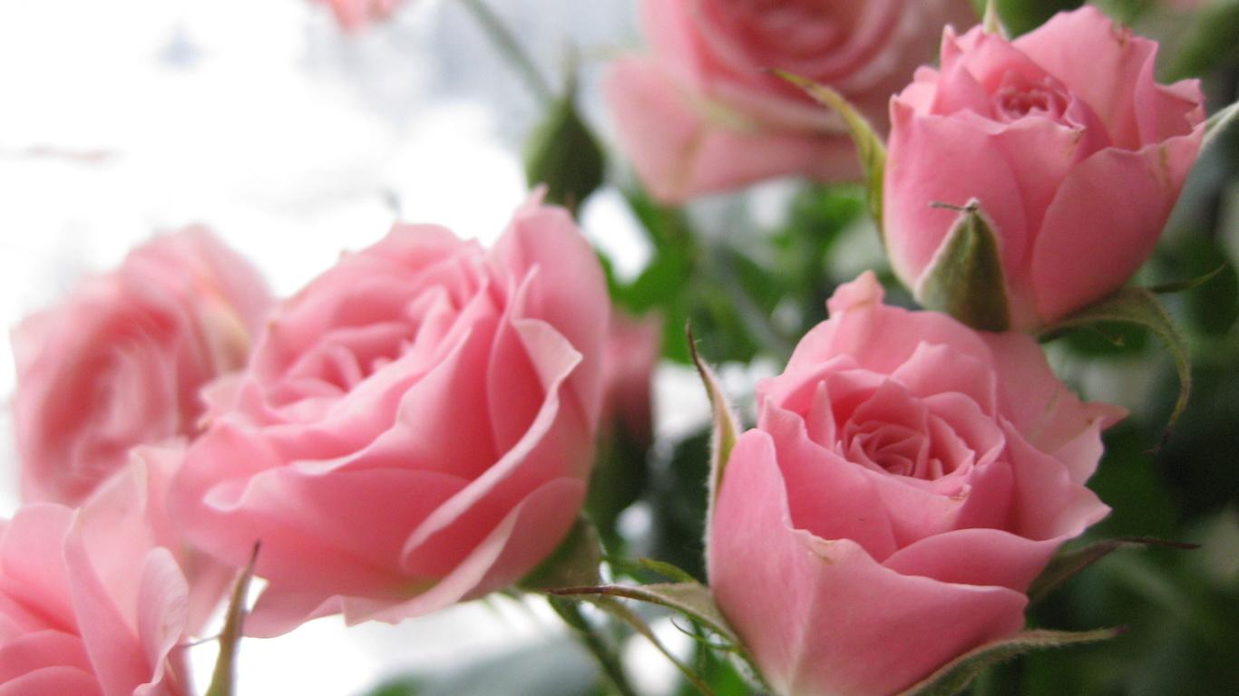 Шпалери квіти троянди букет квіти