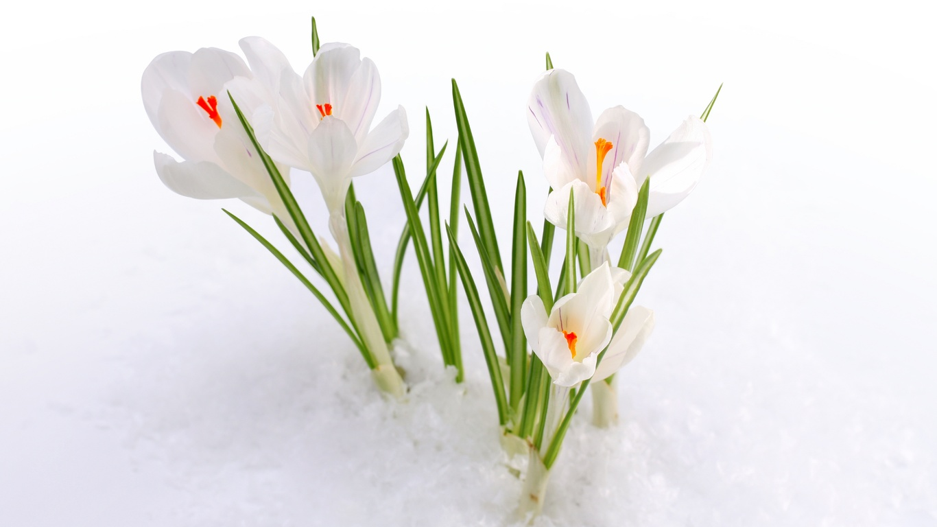 Hd шпалери крокуси, сніг, весна