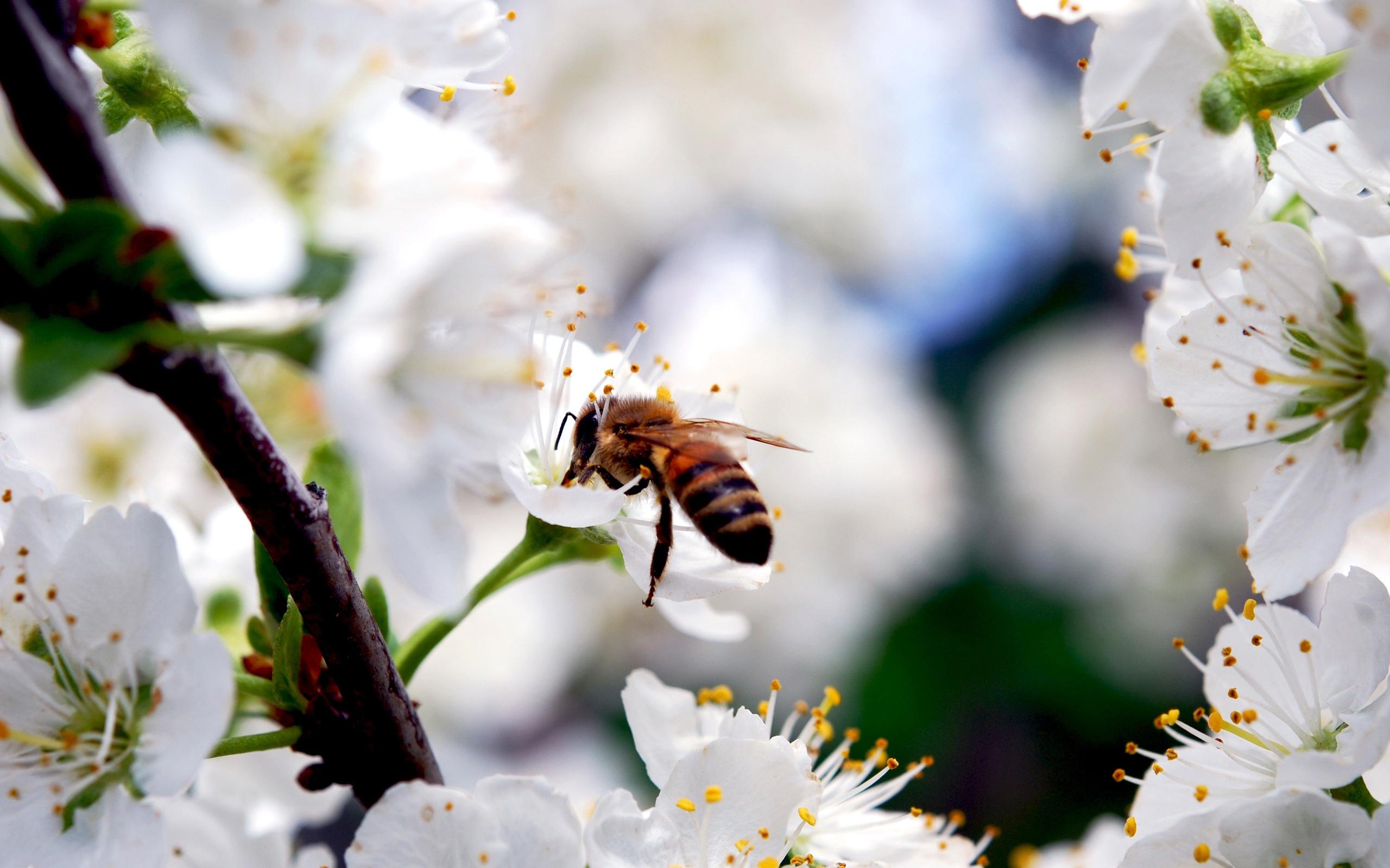 Насекомое ветка вишня белые цветы