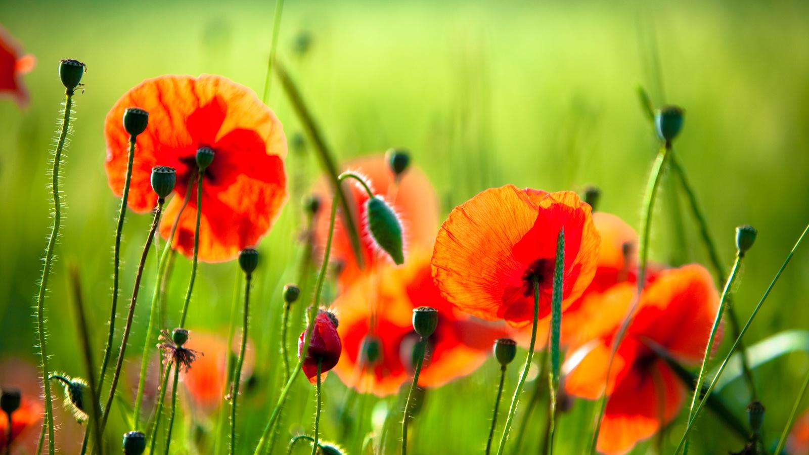Цветы маки разрешение картинки 1600x900