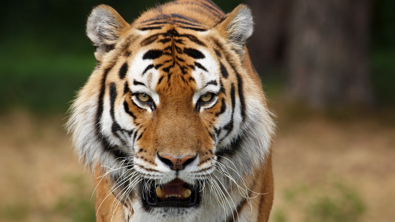 Дикие кошки сибирские тигры картинки