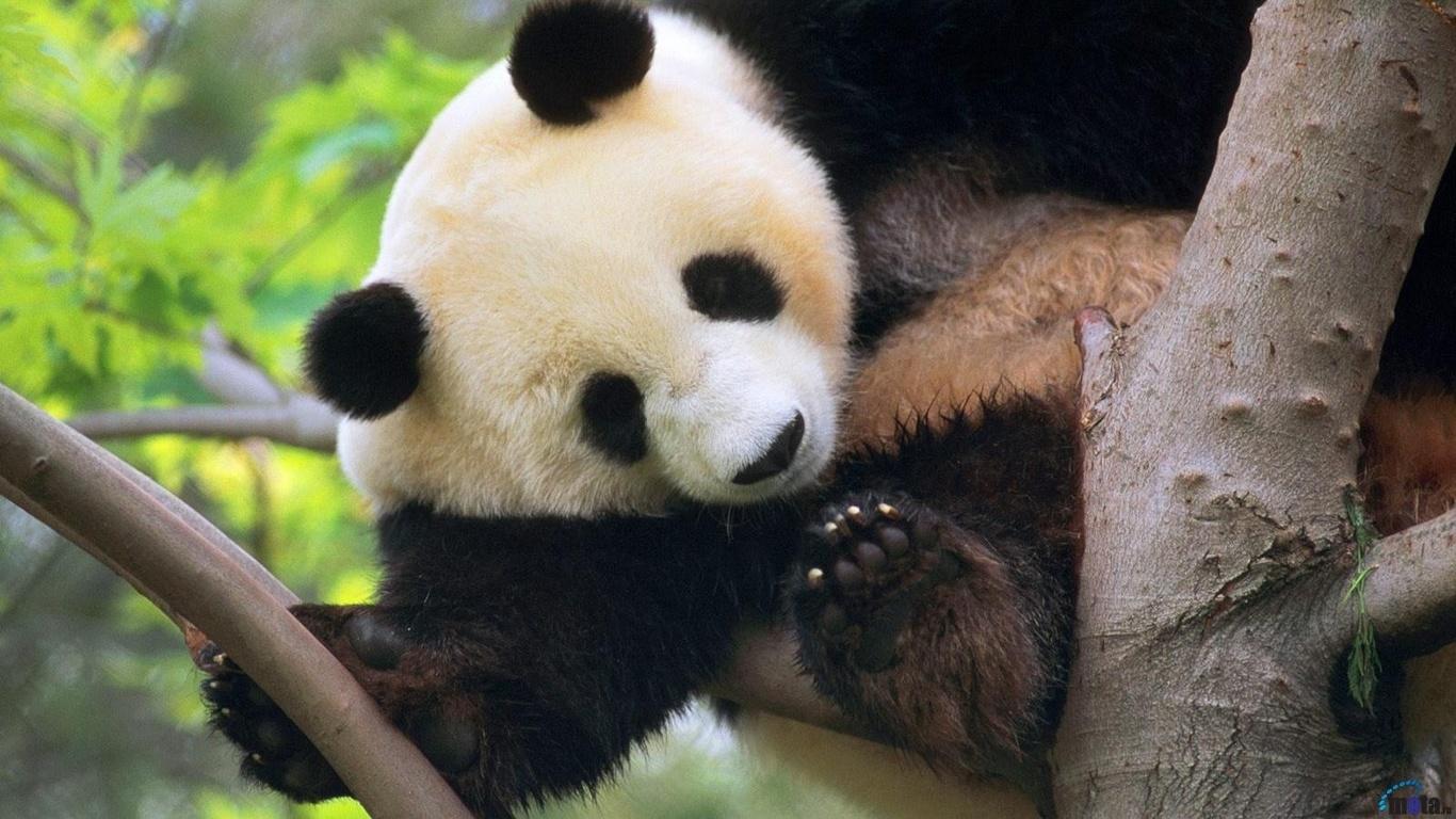 Обои для рабочего стола Гигантская панда в Зоопарке Сан-Диего...