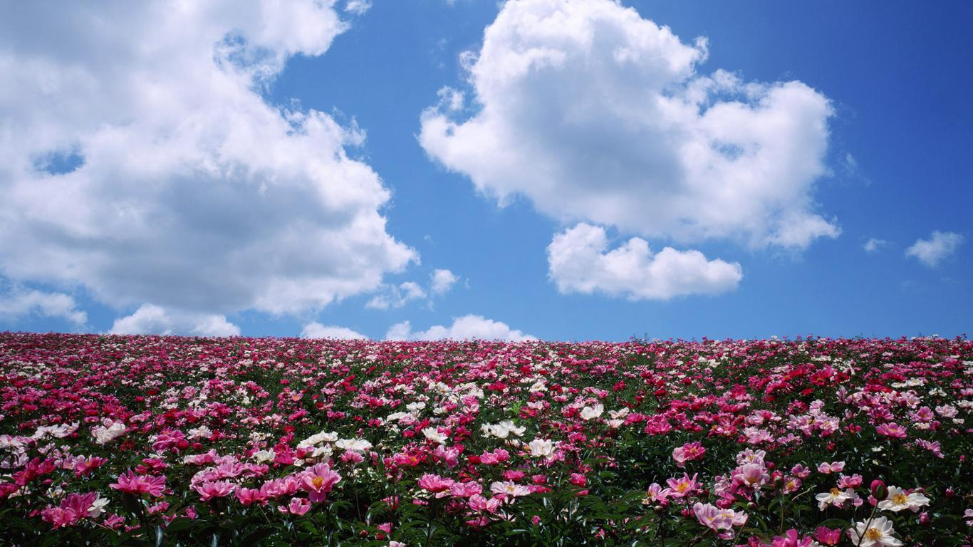 Поле цветы обои 1366x768 картинка №15284