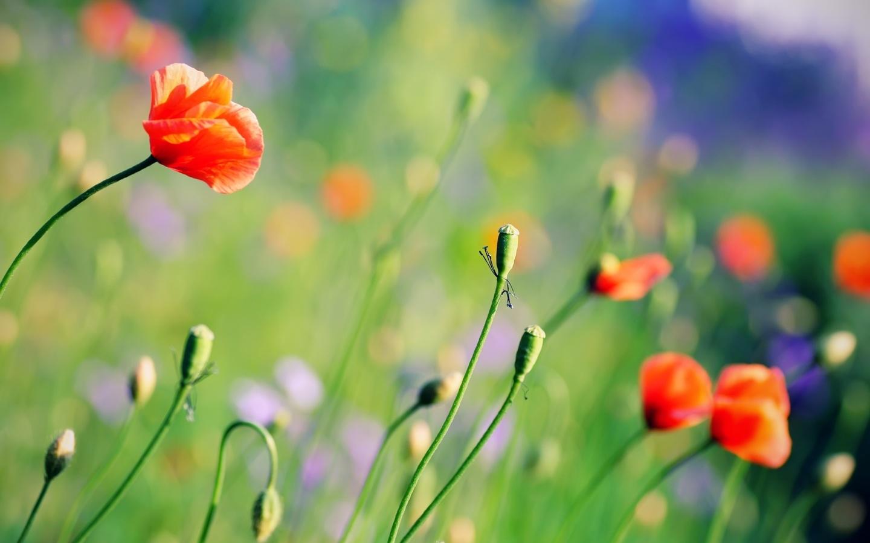 Поляна цвета яркие лето маки фон