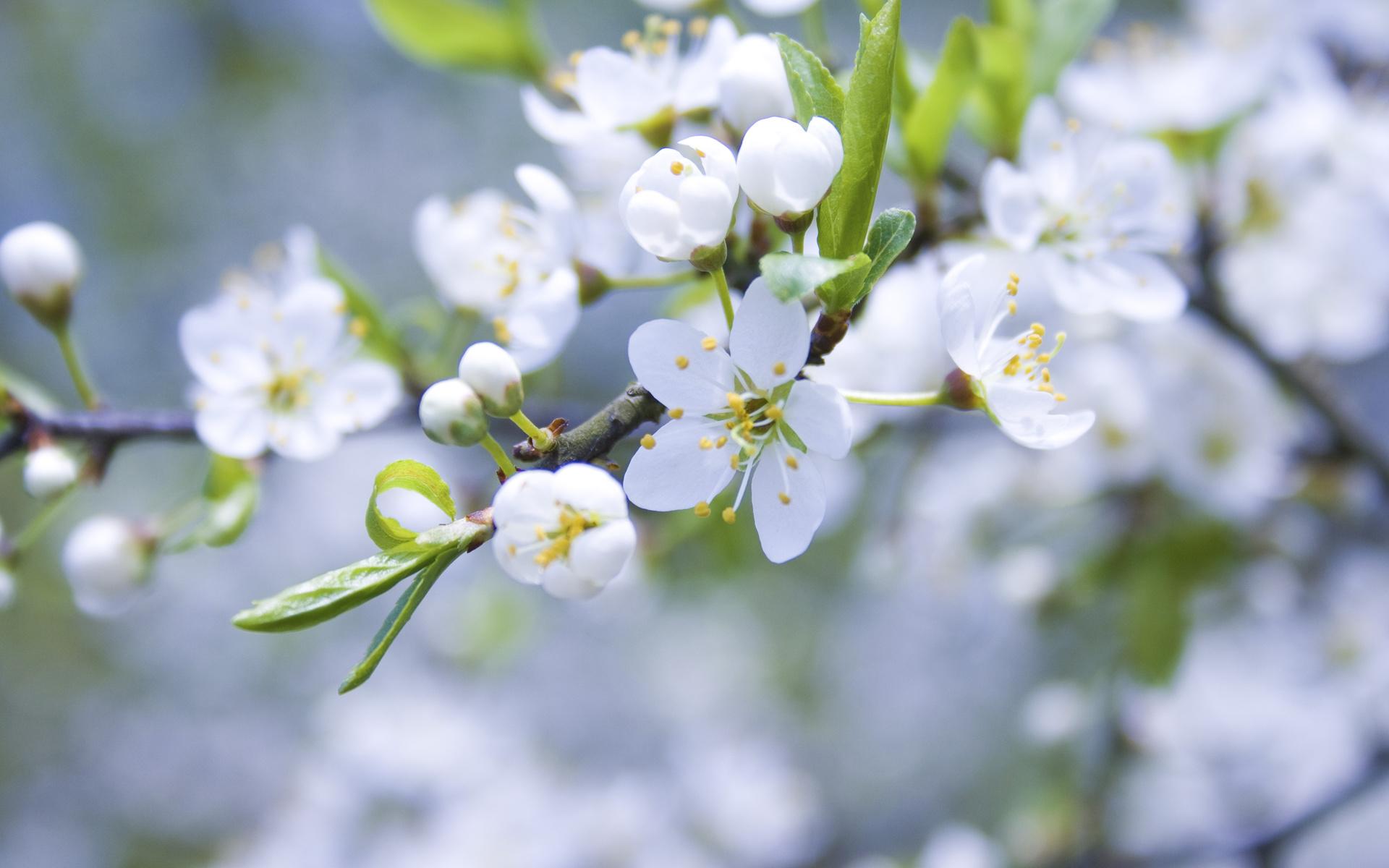 Белые ветка цветы яблоня бутоны