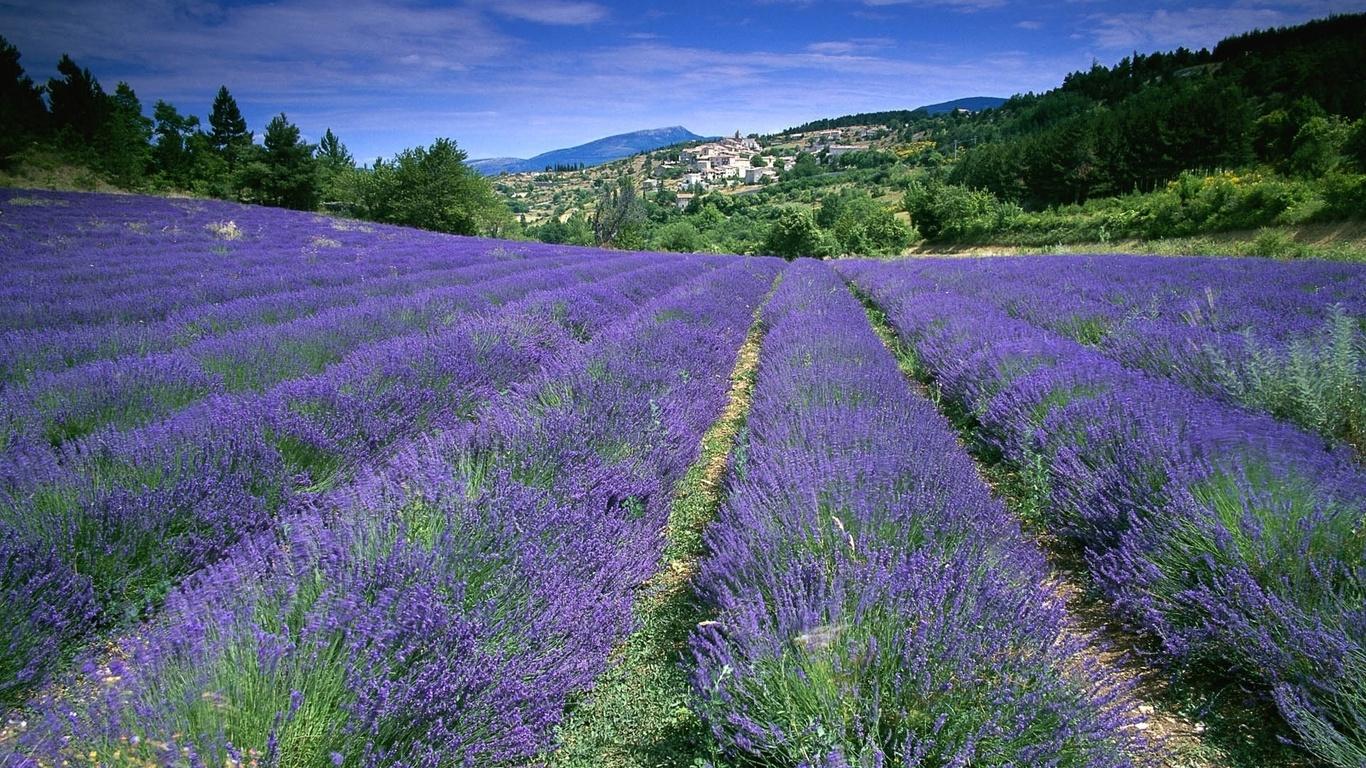 Поле лаванда франция цветы прованс