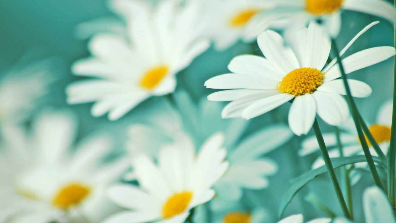 Обои лепестки цветы ромашки белые