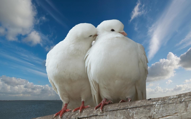 Картинки голубки 2 мир ангелы любовь