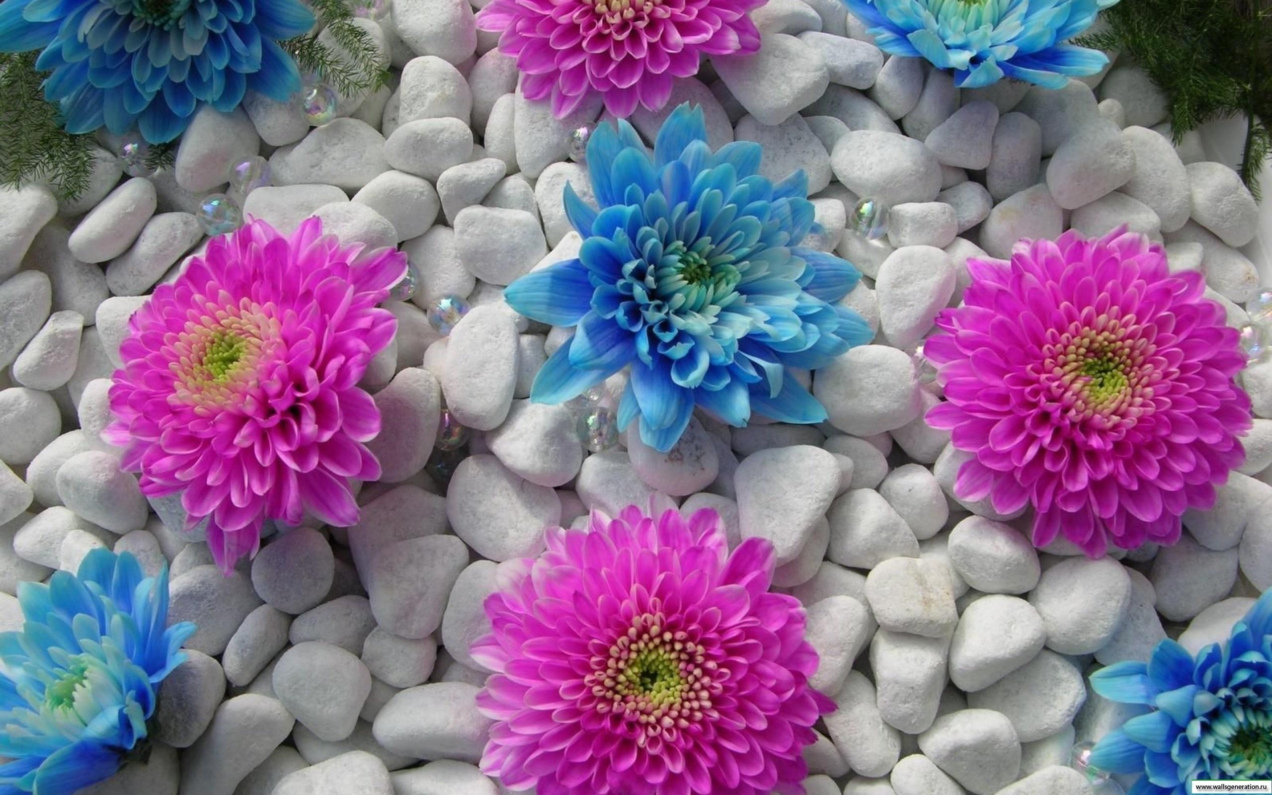 Георгины цветы синие розовые камень