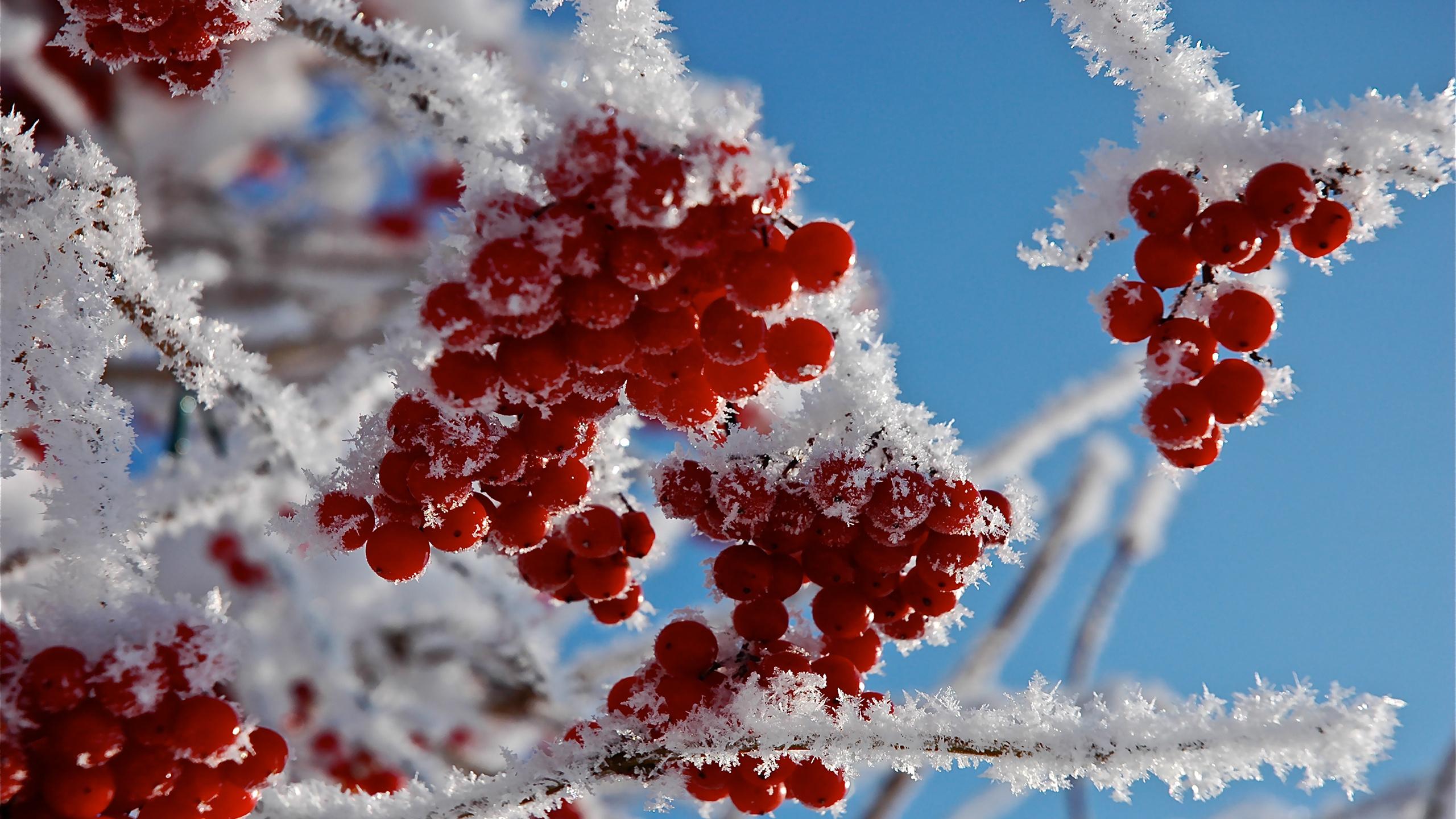 Ягоды макро иней снег ветки