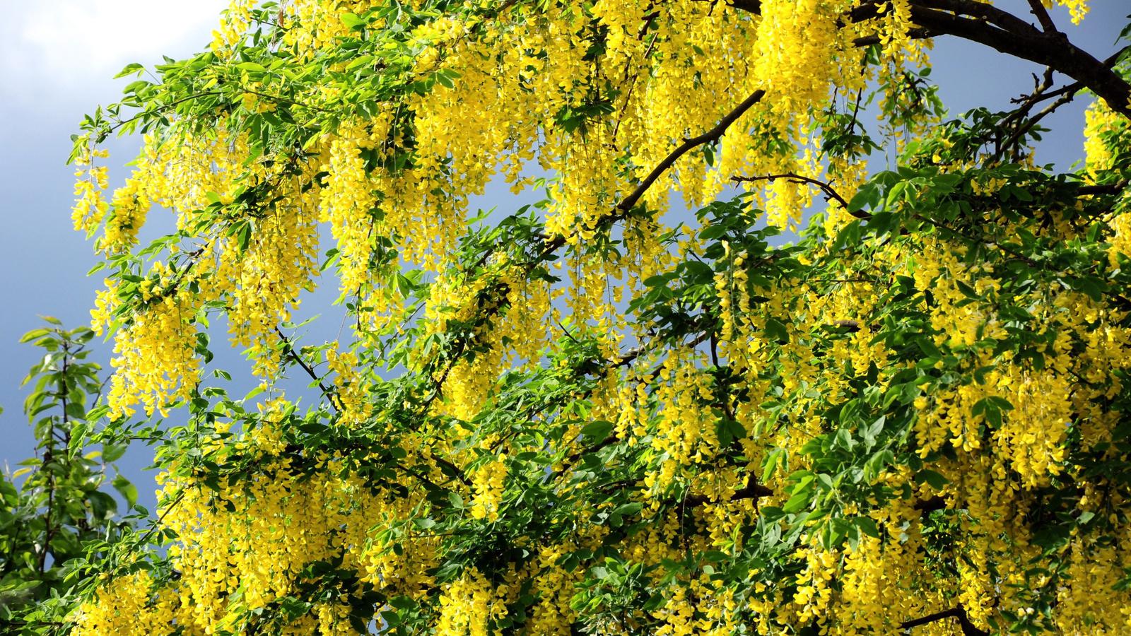Картинки весна, желтые цветы, дерево ...: www.nastol.com.ua/download/31305/1600x900
