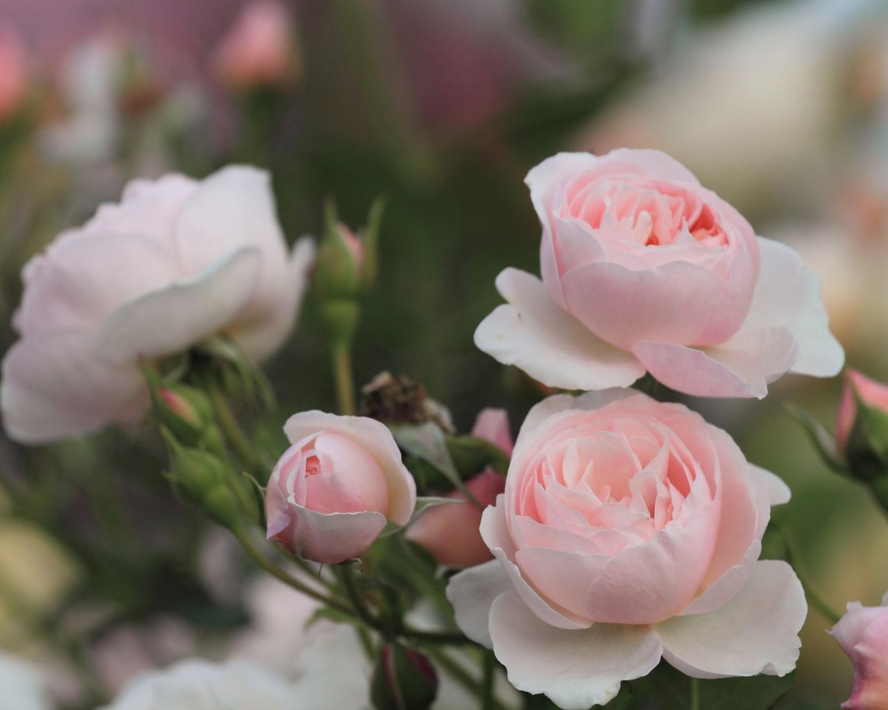 Розы лепестки куст розовые цветы