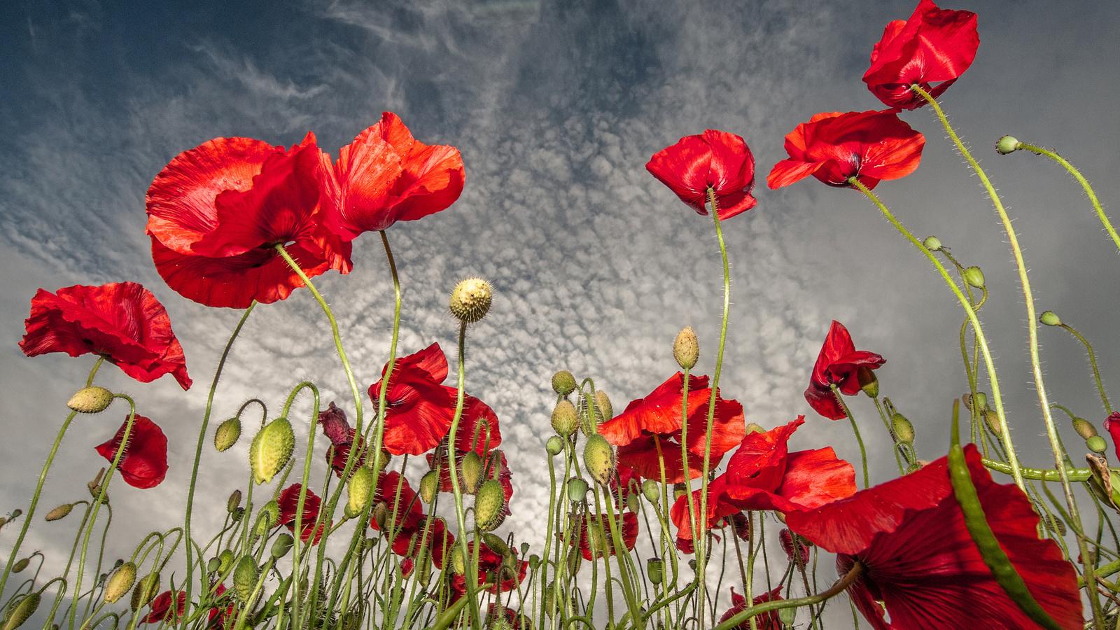 Стола обои поле цветы маки красные