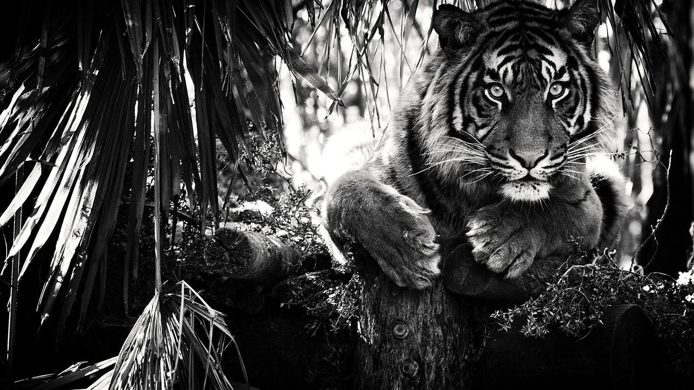 Белый тигр обои для рабочего стола